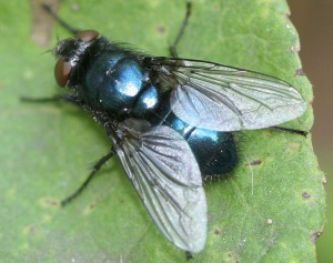 blue assed fly