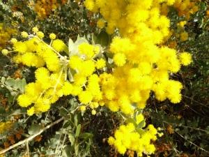 Accacia bloom in Jarrahdale