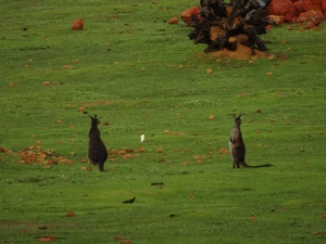Early morning Kangaroos