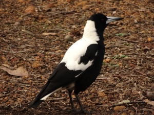 Magpie ... the first bird I remember upon emigrating to OZ in '69