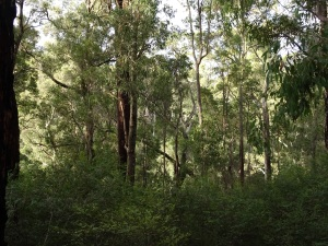 Jarrah forest from Yarri campsite