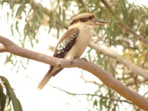 Klassic Kookaburra