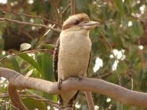 Kute Kookaburra