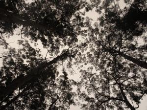 150812 Karri canopy