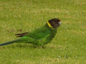 a 28 parrot, not so clearly. 28 refers to its call.