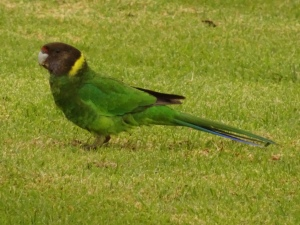 A ring-necked parrot, clearly