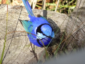 It's a blue wren. Obviously