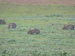 A rabbit plague in full swing in Jarrahwood