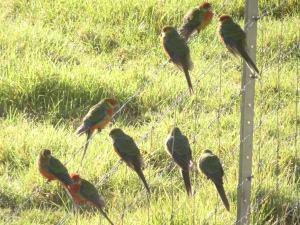 red-capped parrots warming up