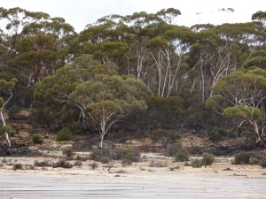 Salmon Gum and Mallee forest
