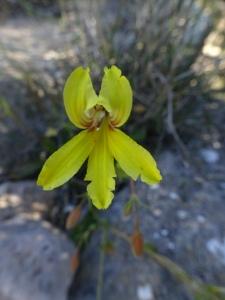 Nullarbor orchid?