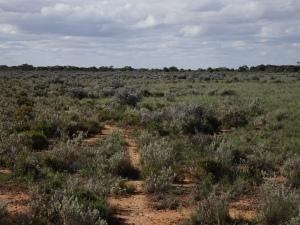 Nullarbor roo track