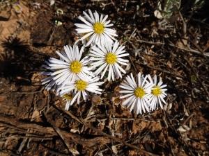 Nullarbor white flowers