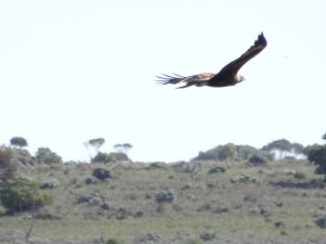 Wedge Tail in flight. Beautiful and inspiring
