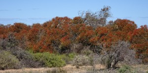 The Nullarbor in bloom