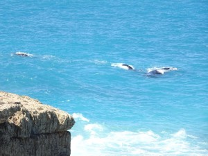 Southern Right Whales, so close to shore