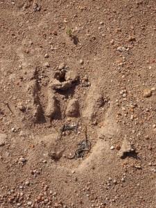 150922 4 wombat pawprint