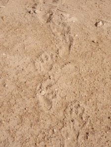 150922 5 wombat waddlings