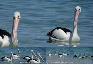 Pelican posse, checking me out