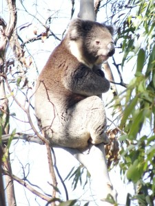 Kute Koala hanging around