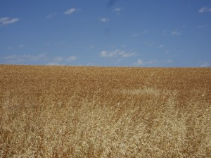 Ah, my world: crop (wheat) and sky ...