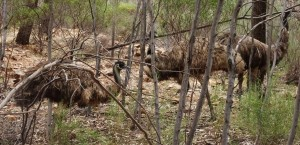 It is the male emu who brings up the brood
