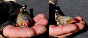 Some kind of finch. It was injured or at least couldn't fly