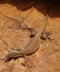 Goulds Sand Goanna. A beautiful animal