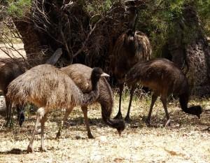 Pappa Emu & his brood.