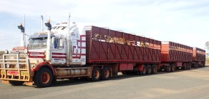 3 trailers of camels heading for our tables