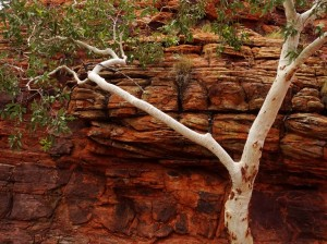 Red river gum against red sandstone