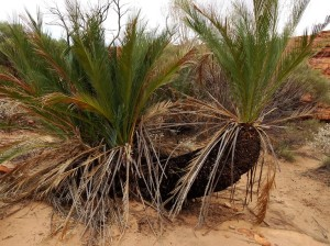 Ancient relics from far wetter Australian times, cycads perhaps 400 yrs old