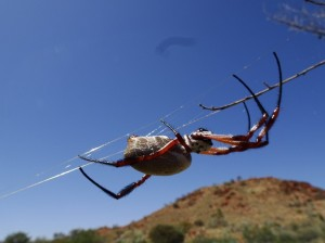 Orb web spider, longer than my fingers