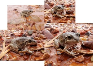 Moods of Spencer's burrowing frog on land