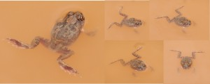 Moods of Spencer's burrowing frog in muddy puddle