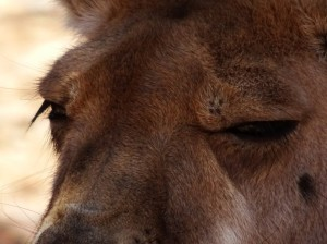 Eyes of kangaroo