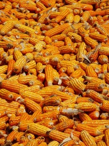 Drying maize