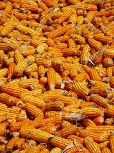 Drying maize