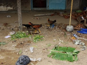 Chickens scavenging among human offal and we then eat them! You are what you eat