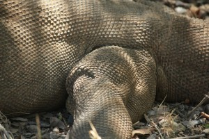 Not really scales. Like other monitors - Varanus - the have skin rather than scales. Quite rough skin