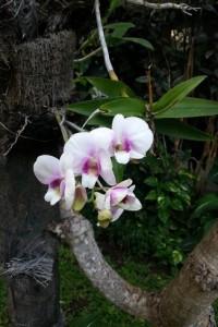 Orchids abound in Puri Raja's gardens.