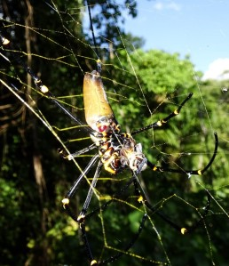 A Golden Orb Web. Not only is the spider kinda 'golden', so too is its web