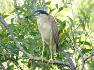 A Nankeen Night Heron, checking me out, at Rum Jungle Lake