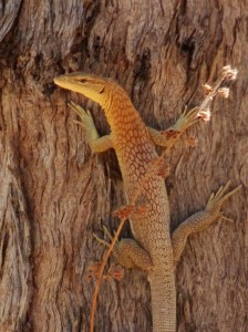 Personally I'm not sure if it is the constant burning, the arrival of the dreaded cane toad, or mass tourism, or all three, but there are a LOT LOT less lizards than I remember. This one scurried across the road before posing on a tree long enough for a snap