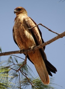 There are endless numbers of kites in The North. This whistling kite is hopeful of more tidbits. We enjoyed watching them fly and dive for cuts of prime rump steak. Very impressive