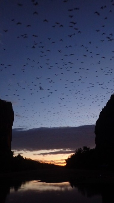 Countless flying foxes exit the gorge every evening to gorge on fruit