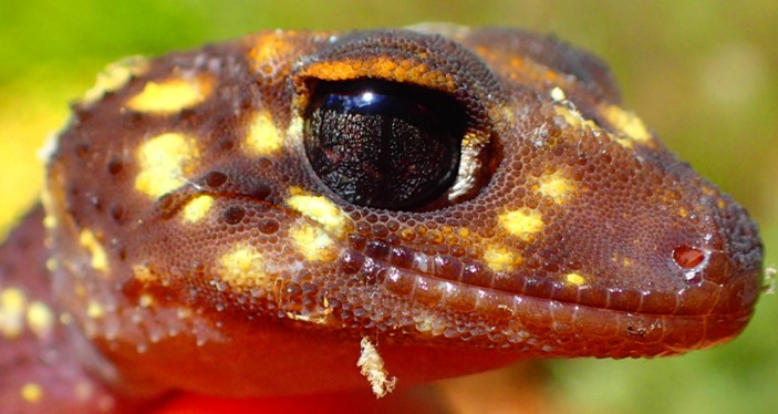 170207 barking gecko 2