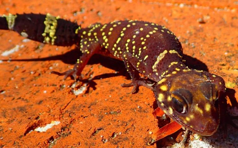 170207 barking gecko 4