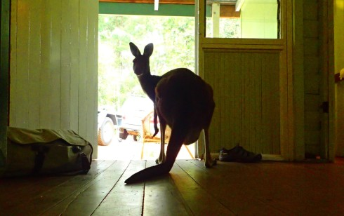 The kangaroos have worked out what the whole house thing is all about