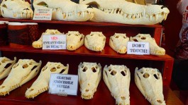 Darwin Market and some rather gruesome souvenirs